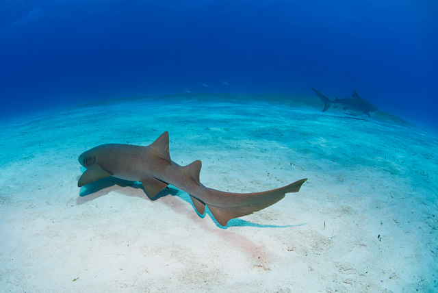 Nurse Shark (Tiger Shark in the Background)