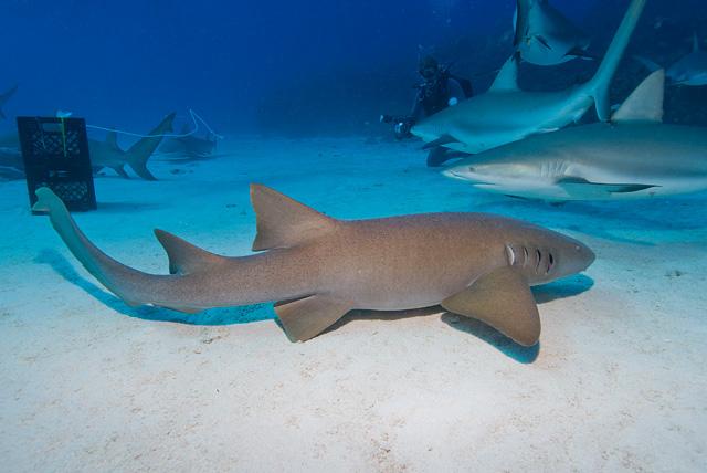 Ammenhai (Karibische Riffhaie im Hintergrund)