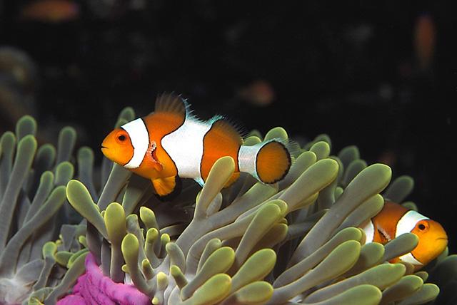 Westlicher Clownfisch (Orangeringel-Anemonenfisch)