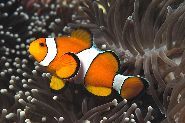 Western Clown-Anemonefish (False Clown Anemonefish)