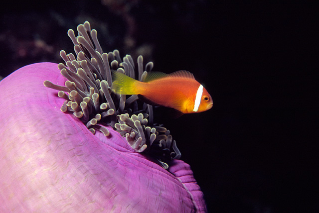 Anemone in Symbiosis with a Anemonefish