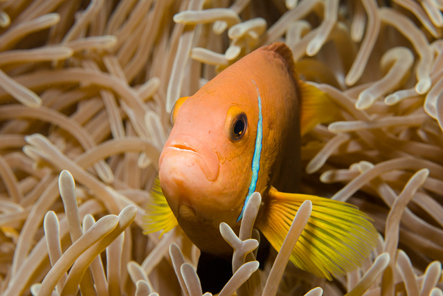 Maldives Anemonefish