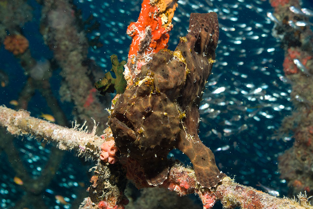 Giant Frogfish (Anglerfish)
