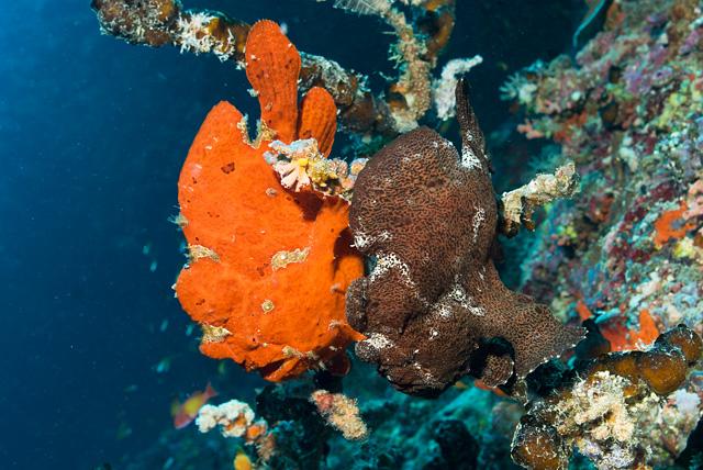 Roter und Brauner Riesen-Anglerfisch