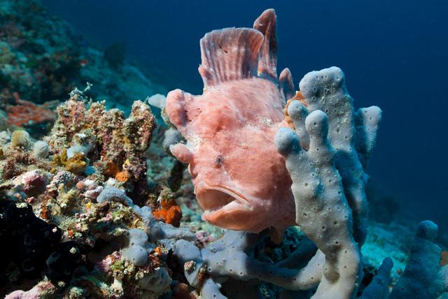 Giant Frogfish (Anglerfish)