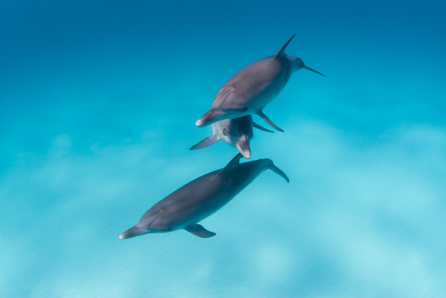 Bottlenose Dolphin (Bottle-Nosed Dolphin)