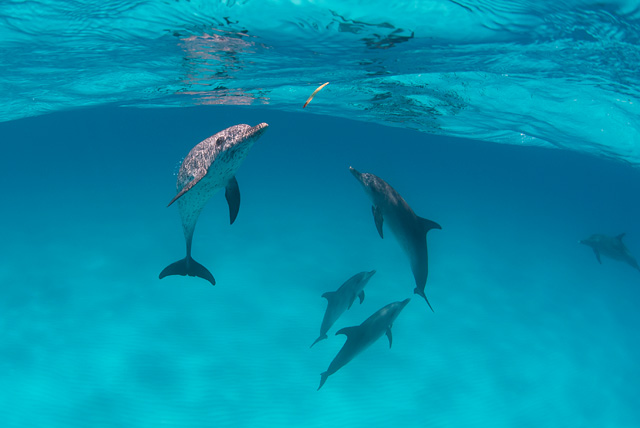 Spotted Dolphin (Bottlenose Dolphin in the Background)