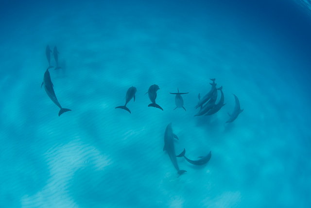 Bottlenose Dolphins and Spotted Dolphins