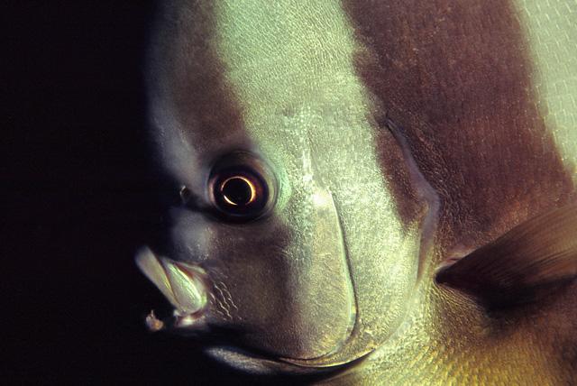 Longfin Batfish (Tall Fin Batfish)