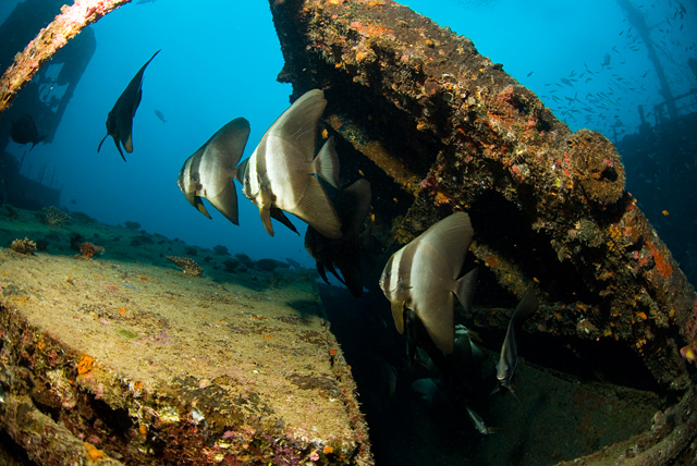 Longfin Batfish (Tall Fin Batfish) at Kudhimaa Wreck