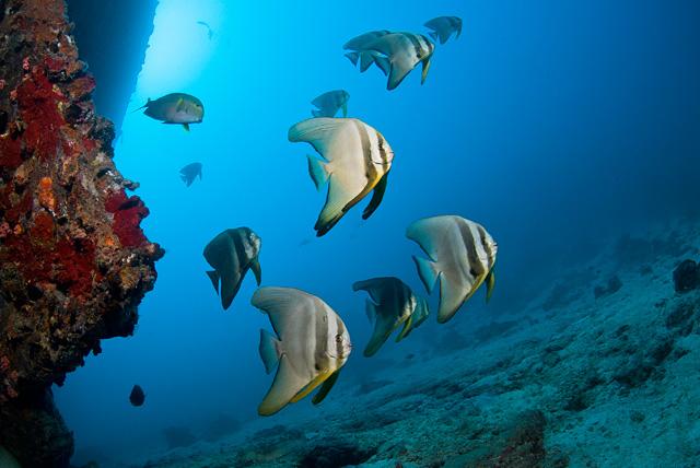 Langflossen-Fledermausfisch