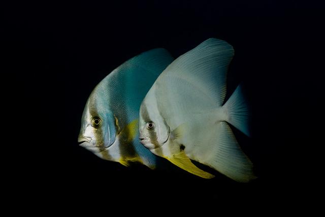 Rundkopf-Fledermausfisch mit Langflossen-Fledermausfisch