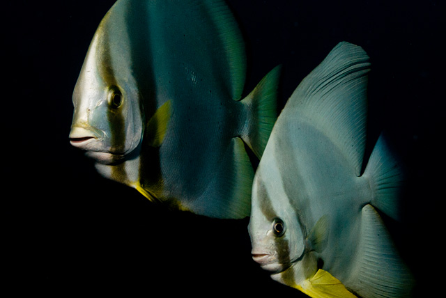 Circular Batfish with Longfin Batfish (Tall Fin Batfish)