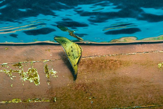 Juvenile Longfin Batfish (Tall Fin Batfish)