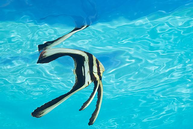 Junger Langflossen-Fledermausfisch