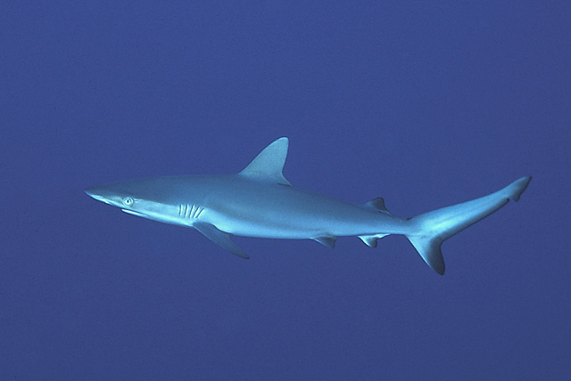 Juvenile Grey Reef Shark