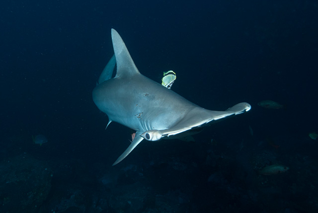 Barberfish (Blacknosed Butterflyfish) in Symbiosis with a Scalloped Hammerhead Shark