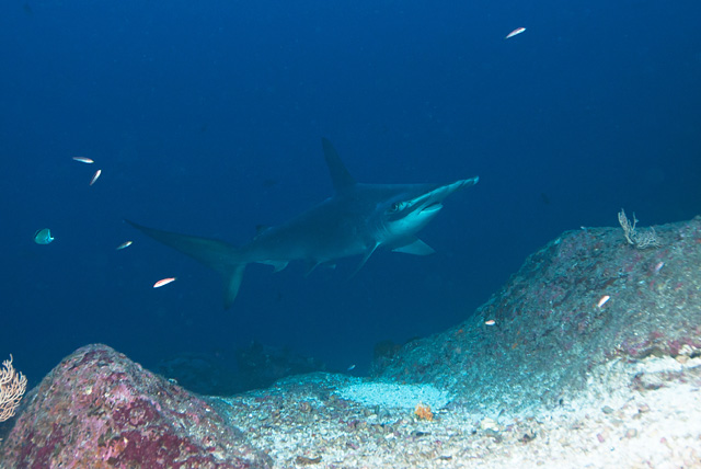 Scalloped Hammerhead Shark