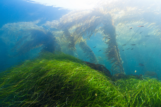 Seagrass (Seaweed) and Giant Kelp