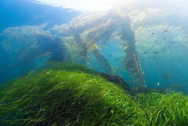 Seegras und Riesentang (Kelp)