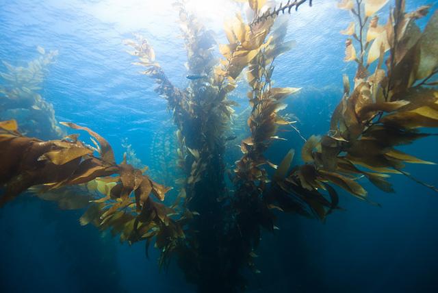 Riesentang (Kelp)