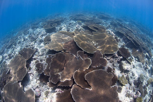 Giant Table Corals