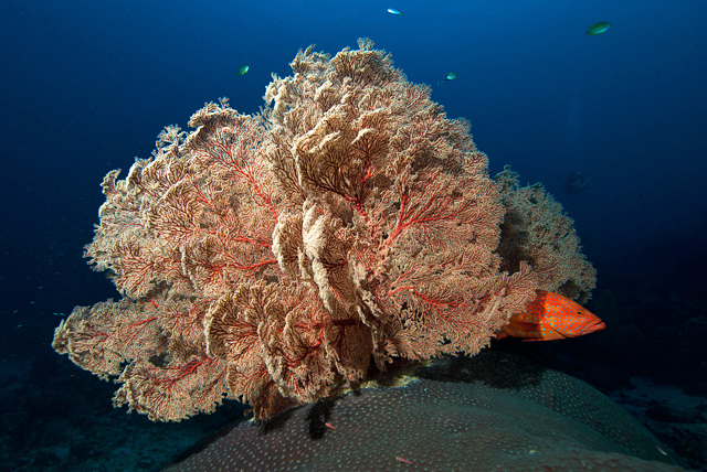 Gorgonian Fan (Sea Fan)