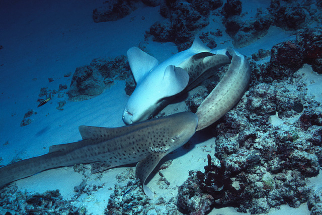 Mating Zebra Sharks