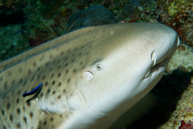 Cleaner Wrasse in Symbiosis with a Zebra Shark