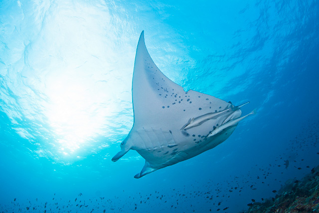Manta Ray with a Shark Bite in the Fin