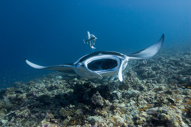 Manta Ray with open Mouth