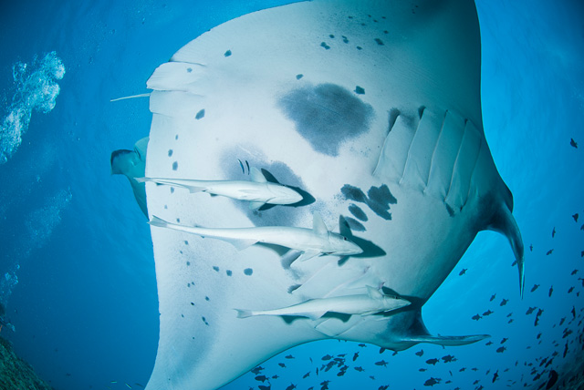 Manta Ray with Remora