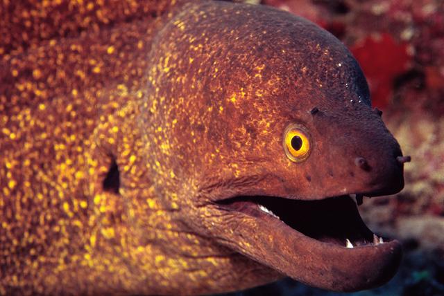 Yellow Edged Moray Eel (Yellowmargin Moray Eel)