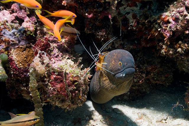 Yellowmargin Moray Eel with White-banded Cleaner Shrimp (Lysmata amboinensis)