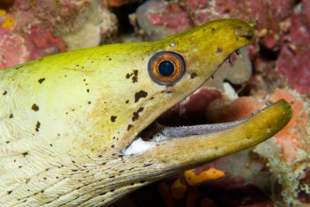 Fimbriated Moray (Spot-Face Moray)