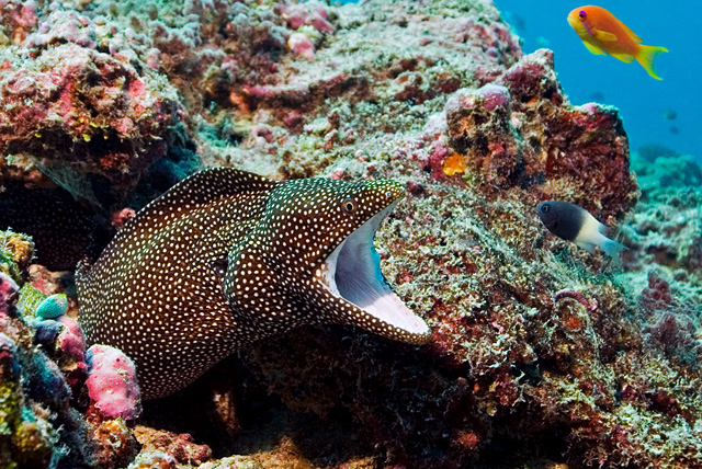 White Mouth Moray Eel