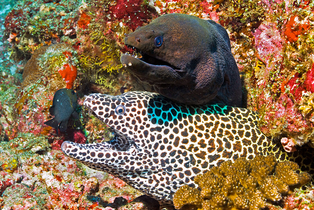 Giant Moray Eel with Honeycomb Moray Eel
