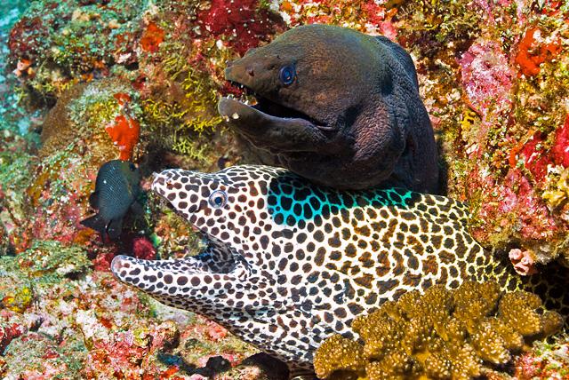 Giant Moray Eel with Honeycomb Moray Eel