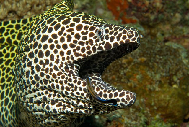 Cleaner Wrasse in Symbiosis with a Honeycomb Moray Eel