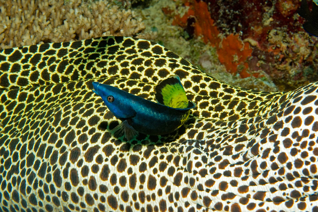 Bicolor Cleaner Wrasse cleaning a Honeycomb Moray Eel