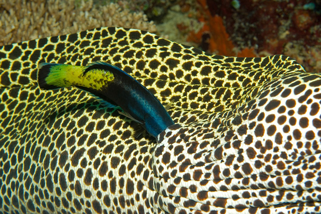 Bicolor Cleaner Wrasse in Symbiosis with a Honeycomb Moray Eel