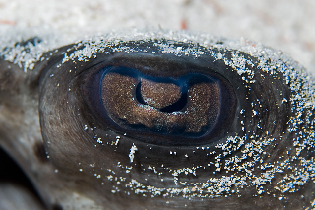 Eye of a Black Blotched Stingray (Blotched Fantail Ray)