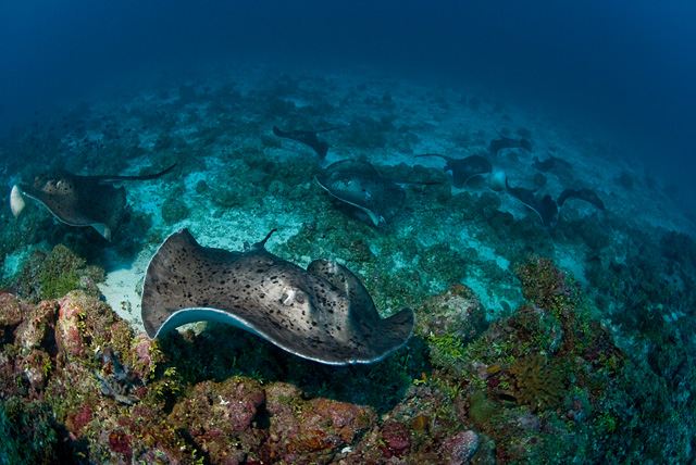 Black Blotched Stingray (Blotched Fantail Ray)