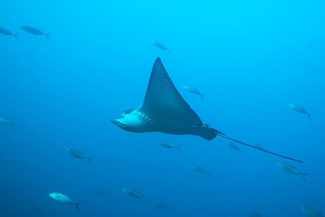 White Spotted Eagle Ray