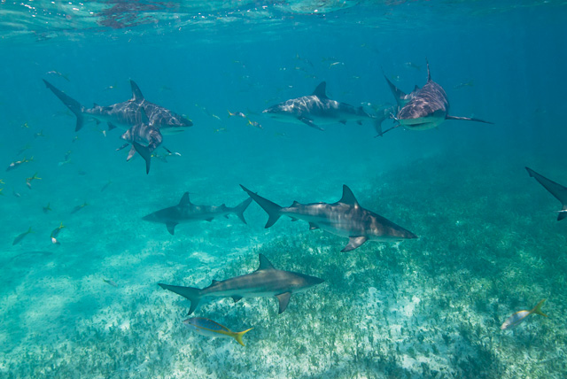 Blacktip Sharks below / Caribbean Reef Sharks above