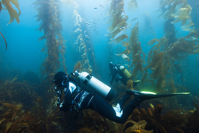 Divers in Kelp Forest