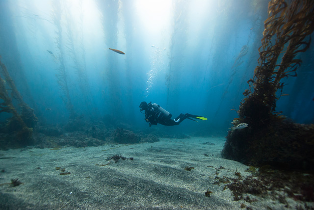 Diver in Kelp Forest