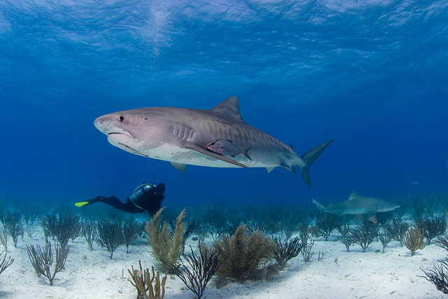 Tiger Shark (Lemon Shark in the Background)