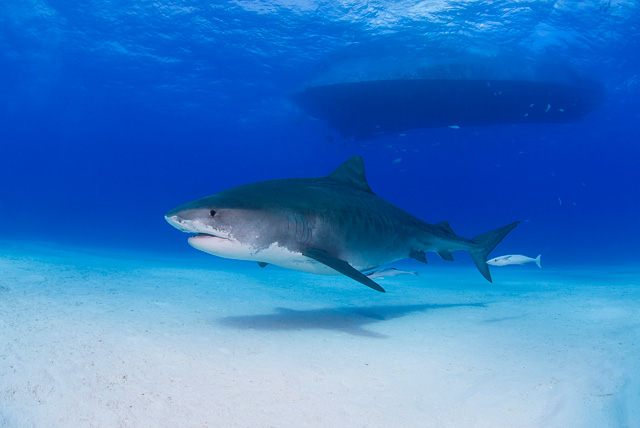 Tiger Shark (pregnant female)