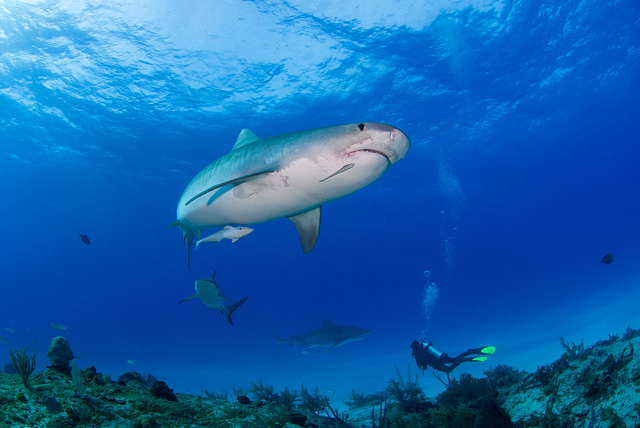 Tiger Shark (Caribbean Reef Shark in the Middle / Tiger Shark in the Background)
